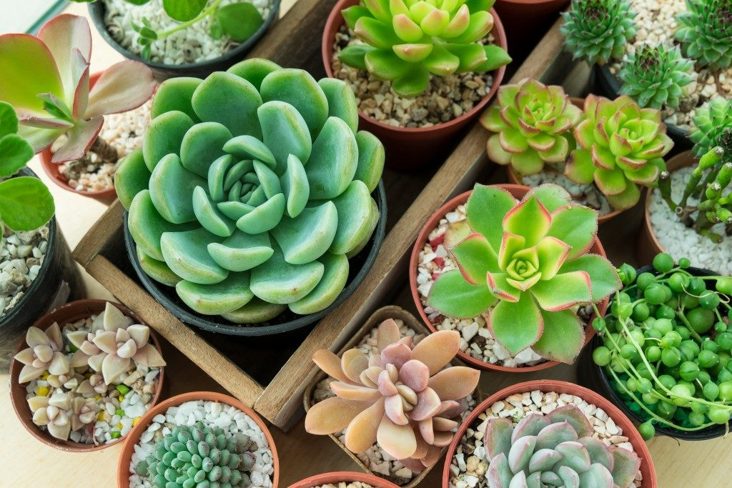 Succulent plants on pots