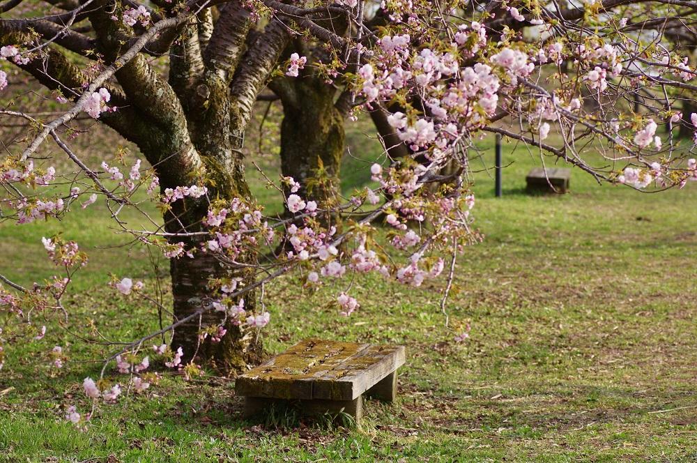 cheryy blossom festival
