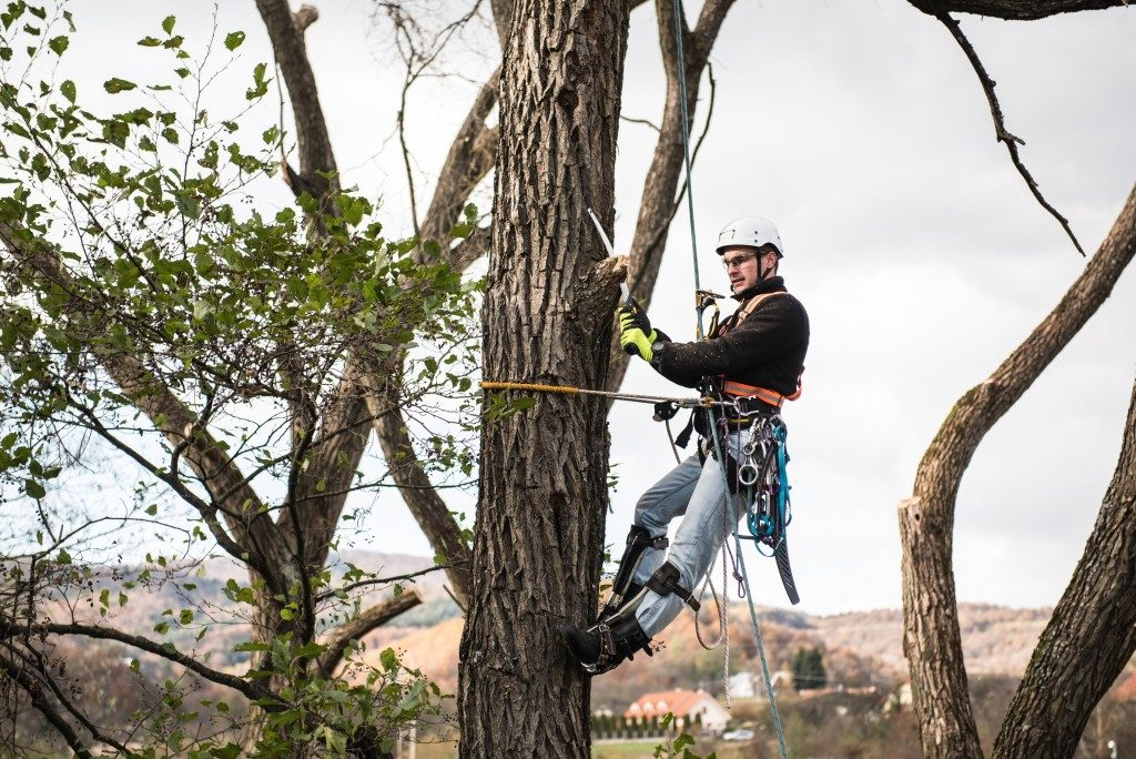 Lumberjack with saw and harness pruning a tree